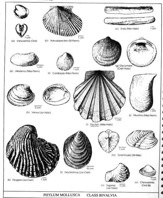 Phylum Mollusca 2